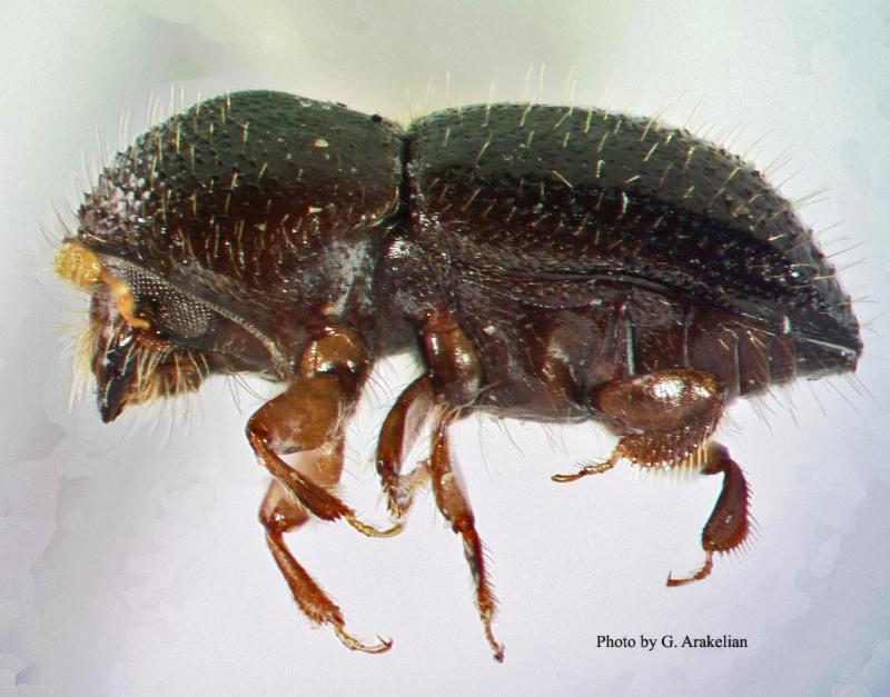 Euwallacea fornicatus female by Gevork Arakelian