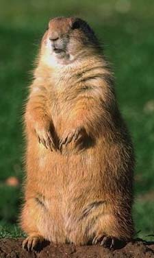 Woodchuck Frontal View