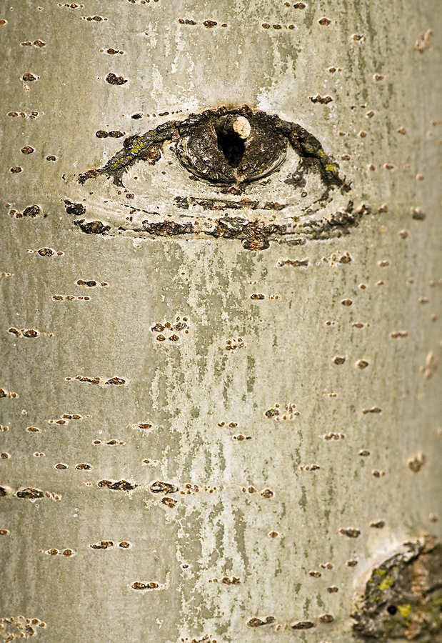 Abstract beech tree bark with eye design