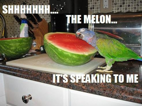 parrots with melon