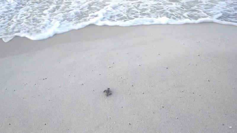 Protect Our Sea Turtles - Watch Them Hatch & Learn How You Can Help!