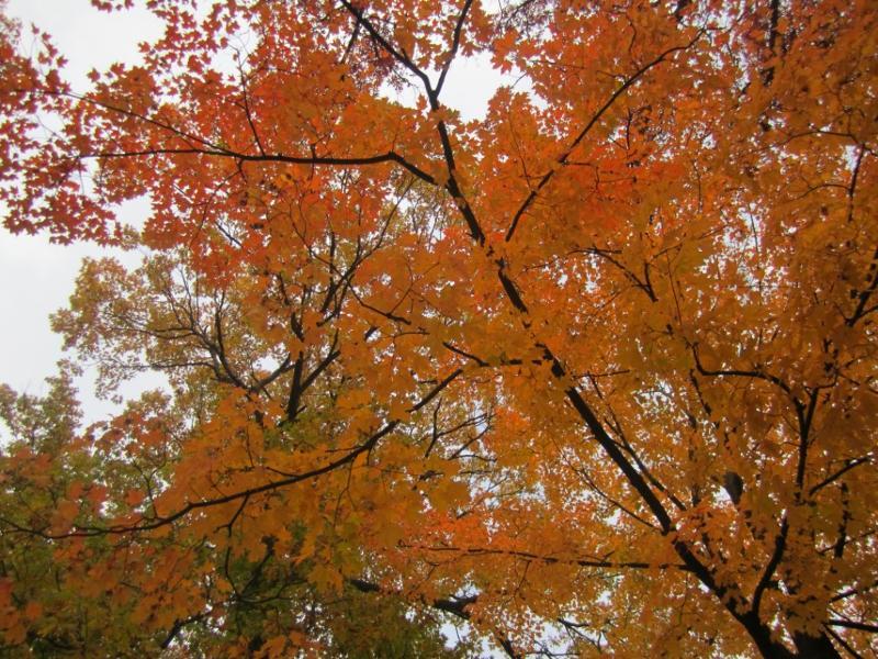 Morton Arboretum Tree