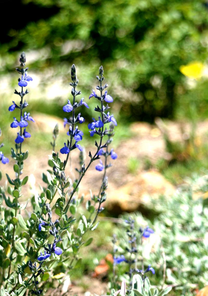 CA Native Plants: Electric Blue Sage