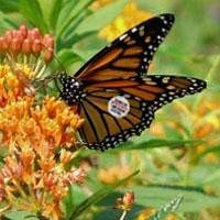 Monarch tagging On Call Program