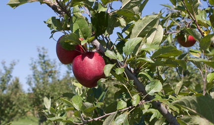 Wills Family Orchard - Adel Iowa