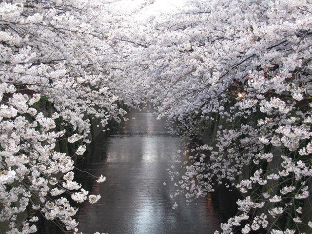 Meguro river  Sakura