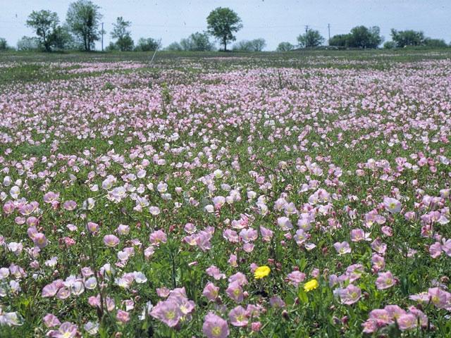 TX wild flower Buttercups