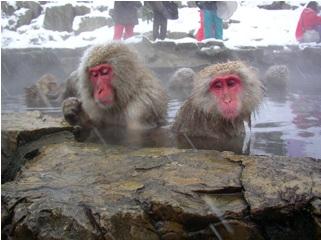 Japanese Snow  Monkey1