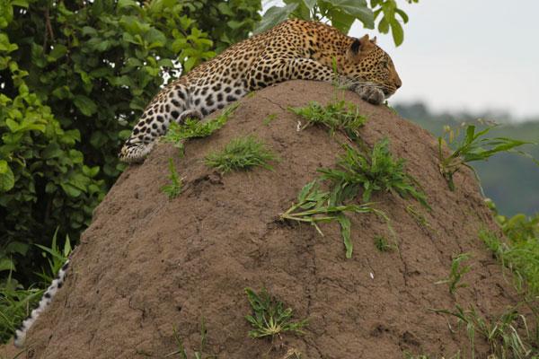 Ruaha Leopard