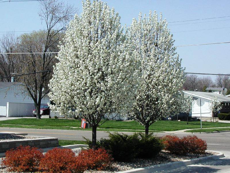 Pear Tree Image