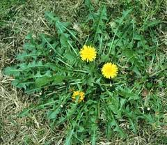Thumbnail image for Don't  Throw Those Dandelion Greens Away!: There's Powerful Medicine for Springtime in Those Garden Weeds