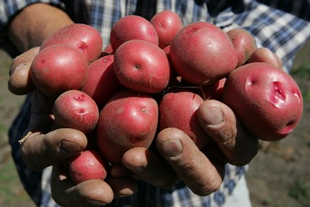 Hands with potatoes
