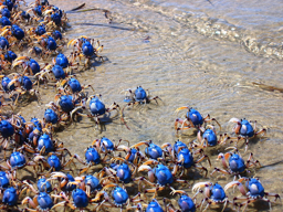 Blue Soldier Crabs