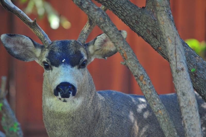 Deer Headshot