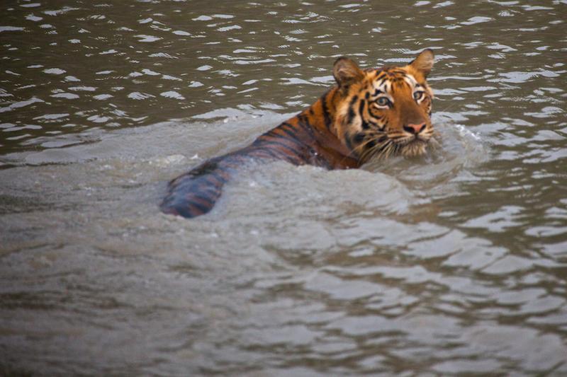 Royal Bengal Tiger_Sunderbans_India_Oct2009