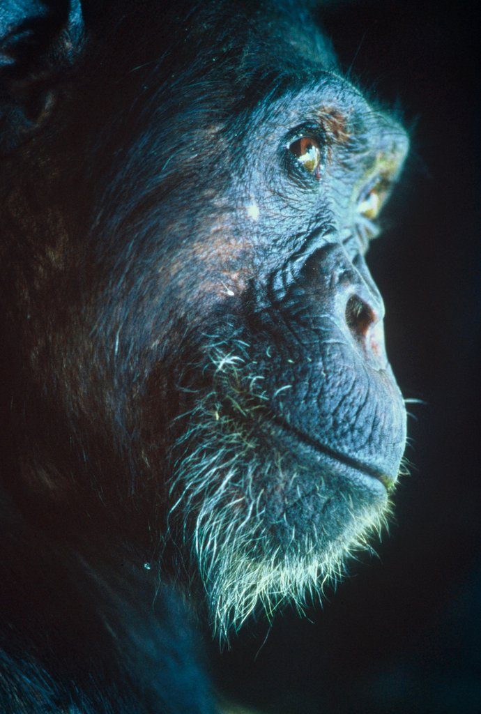 Intelligent Thought-Chimpanzee at Dusk_Tanzania