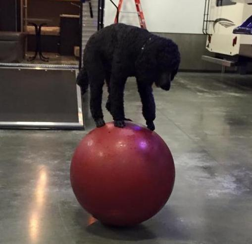 Sailor The Poodle Ball Walking
