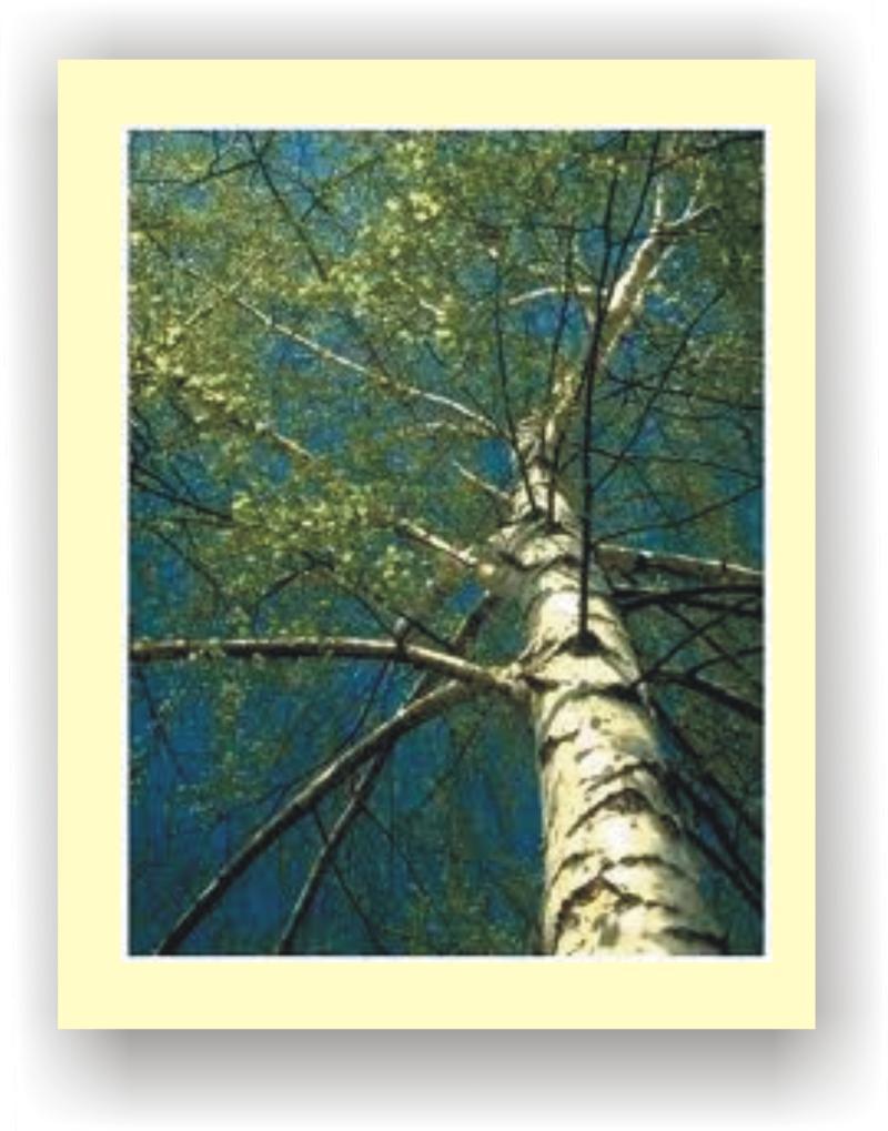 Birch Tree Evaporates 70 Gallons per day