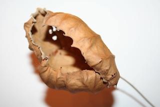leafcurl