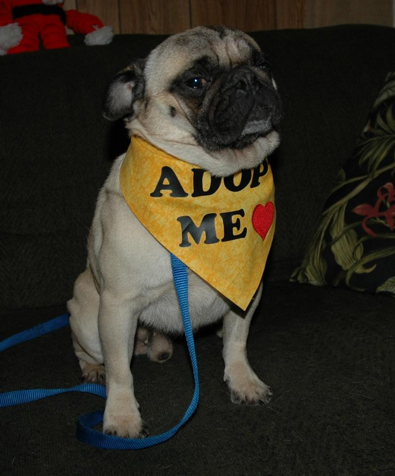 Max for Foster Pug of the Month