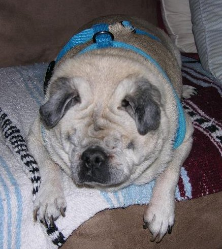 Bubba for Jan. Foster Pug of the month