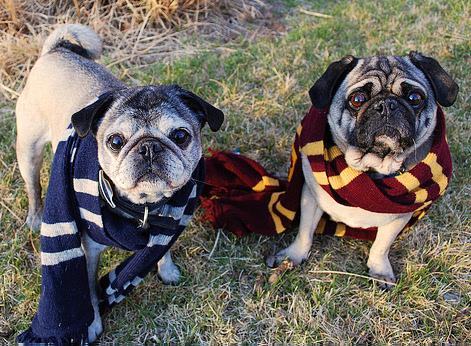 Pugs in Scarves