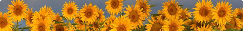 sunflower website picture