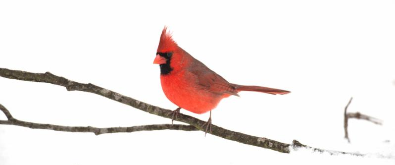 Male northern cardinal perched on a stick on the ground following winter snow     Note  Soft Focus at 100 , best at smaller sizes