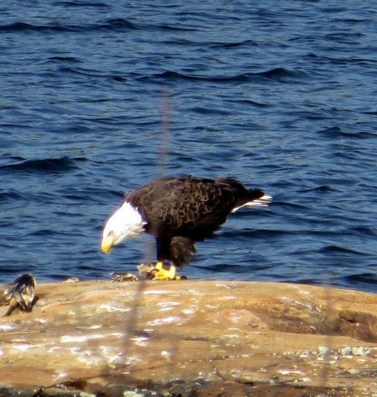 Adult eagle Barb Brignall