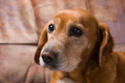 senior pet