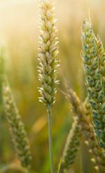 Wheat: Healthy or Hazardous?