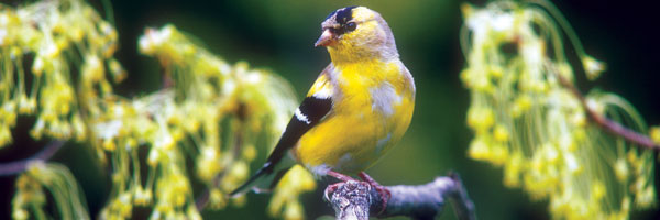 American_Goldfinch_Molting