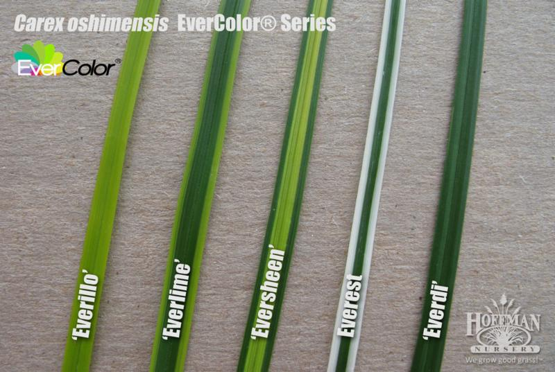 EverColor Sedges