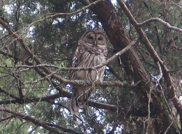 Owls at South Fork