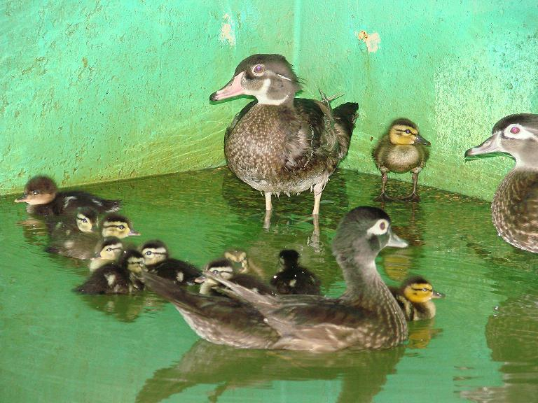Wood Duck fosters