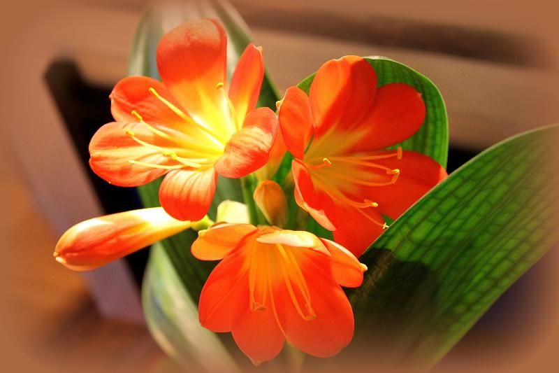 clivia for newsletter may 2013
