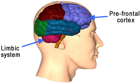 1000  images about Limbic system on Pinterest
