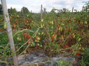 Paste Tomatoes