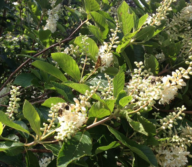 Clethra alnifolia with pollinators