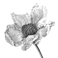 Stewartia_flower_drawing