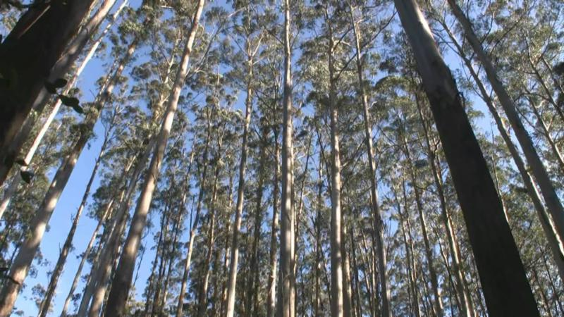 Australian Mountain Ash (Eucalyptus Regnans)