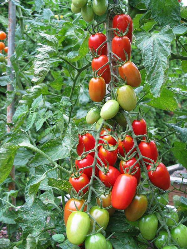 Juliet Collector Tomatoes