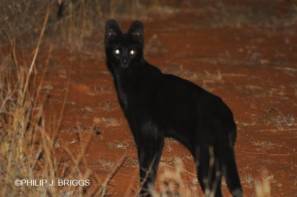 melanistic-serval-africa