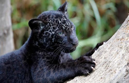 melanistic-jaguar