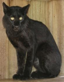 melanistic-bobcat