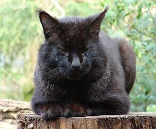 melanistic-jungle-cat