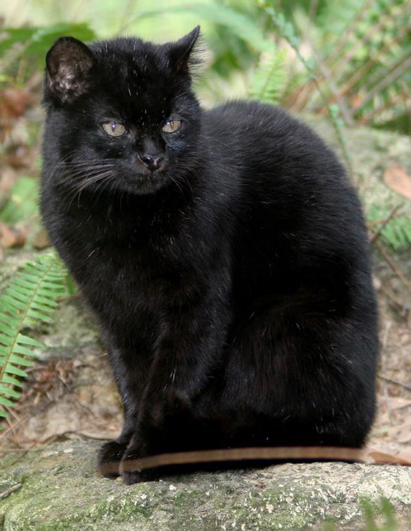 melanistic-geoffroys cat