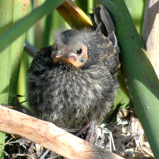 red_winged_blackbird_chick