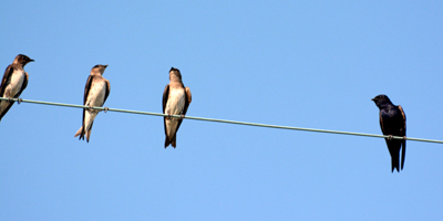 purple_martins