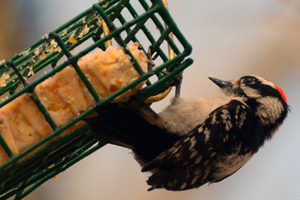 hairy_woodpecker_suet_feeder